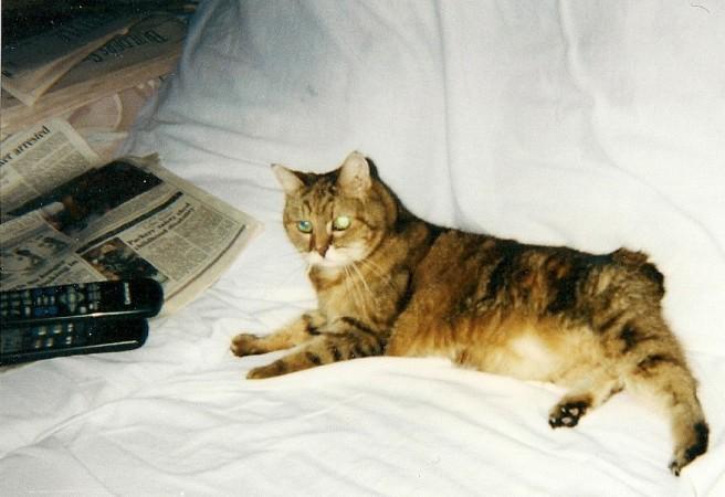 Fluffy The Manx Cat